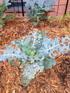 This is my broccoli after last night's bug attack