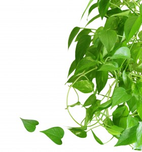 Evergreen houseplant pothos isolated on white background