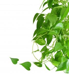 Evergreen houseplant pothos isolated on white background