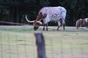 A longhorn grazing in field.